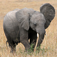 Facts about Elephants you don't know