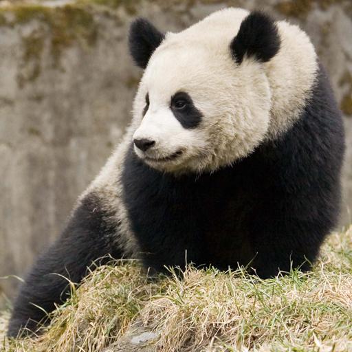 Panda**