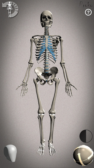 Skelly - Poseable Anatomy Model for Artists