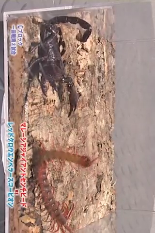 Insect arena 6 - 12 Malaysian giant centipede VS Red claw emperor scorpion